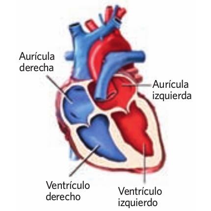 bálbulas del corazón
